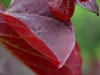 Cercis canadensis 'Forest Pansy' blade
