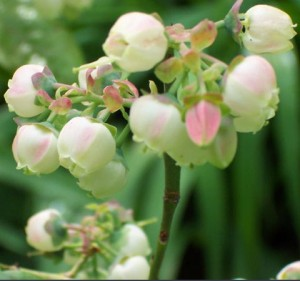 Vaccinium blomster
