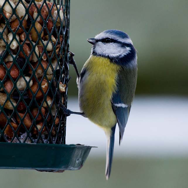 Bluetit on birdfeeder